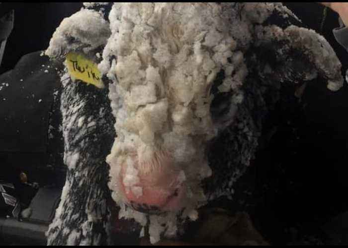 Calves Rescued as Winter Storm Pummels Washington State