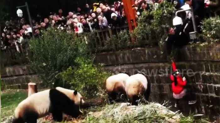 Security guard hangs upside-down to rescue girl that fell into panda enclosure