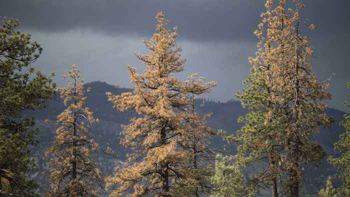 California Has Lost 18 Million Trees Since The Fall Of 2017