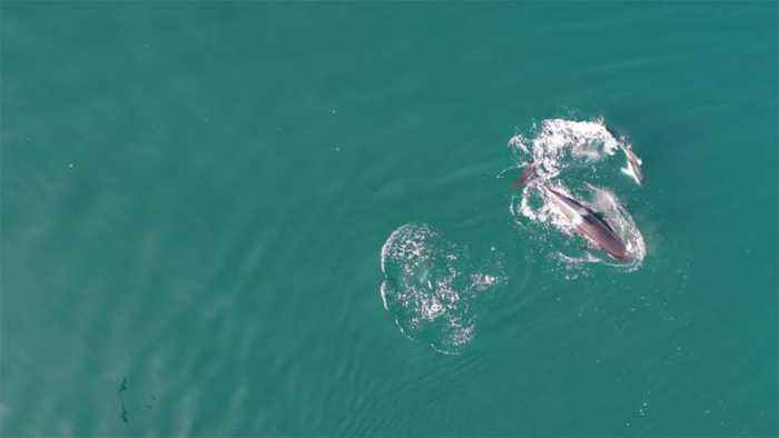'Surprising Friendship': Drone Captures Dolphins And Killer Whales Swimming Together