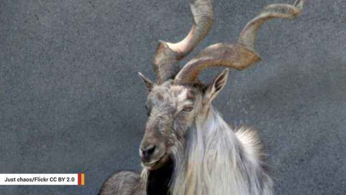 Texas Man Pays $110,000 For Permit To Hunt Exotic Goat In Pakistan