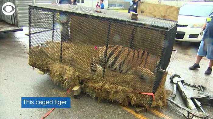 WEB EXTRA: Tiger Found In Vacant Home