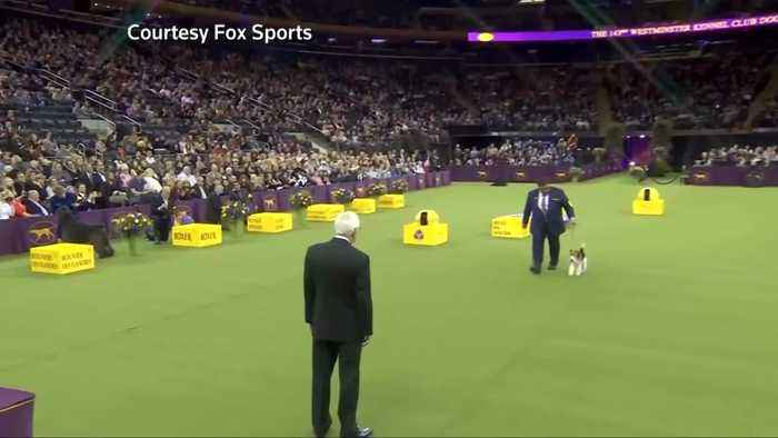 'King' the wire fox terrier wins crown at Westminster dog show