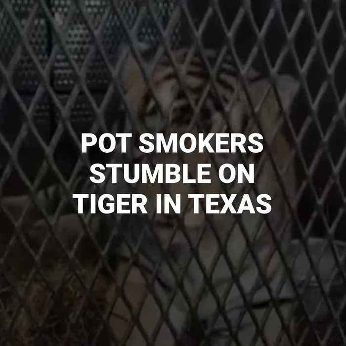 Pot Smokers Find Tiger In Abandoned House In Texas