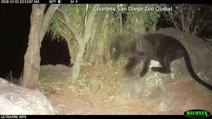 The elusive black panther is spotted in Kenya