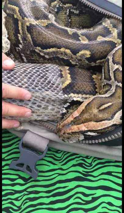 Giant python sheds skin with help from veterinarian in Chile