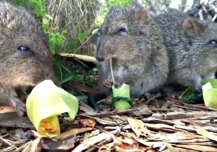Hungry Potaroos Get Their First Taste of Yummy Peanut Butter