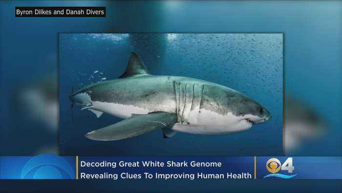 Florida Scientists Help Decode Great White Shark Genome Revealing Clues To Living Longer and Cancer Resistance
