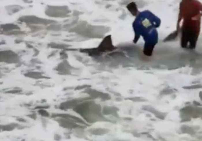 Great White Shark Makes Rare Appearance Off Navarre Beach Fishing Pier