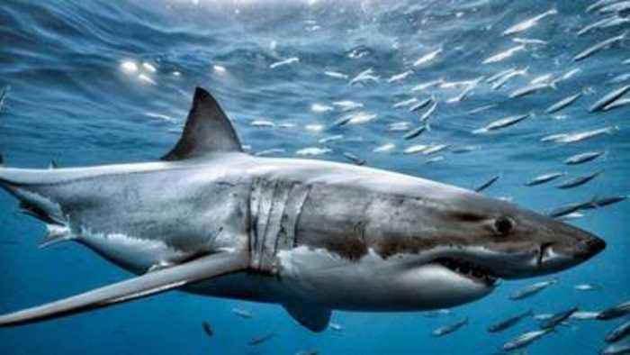 Cape Cod May Have a Great White Shark Problem