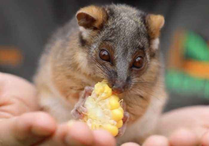 Adorable Ringtail Possum Munches on Corn