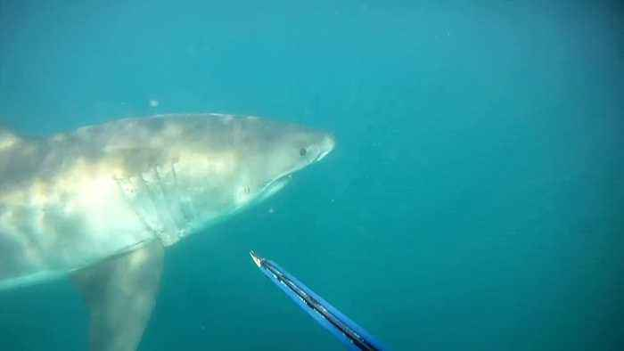 Diver's insane face-to-face encounter with Great White Shark