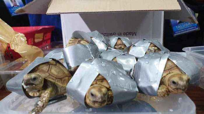 More than 1,500 turtles and tortoises found in suitcases at Manila airport