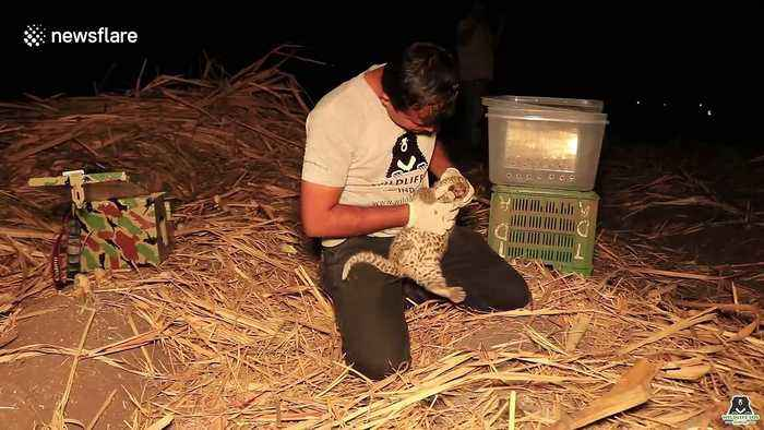 Lost leopard cub reunited with mother in India