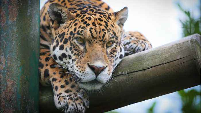 Jaguar Attacks Woman Taking Selfie at Zoo