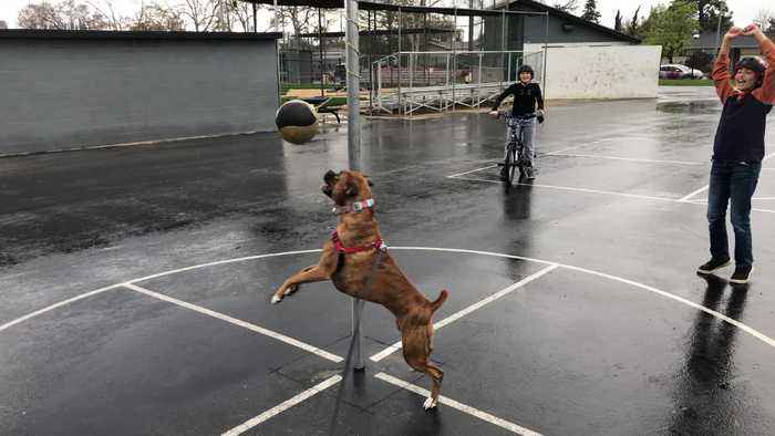 Boxer Dog Plays Tetherball