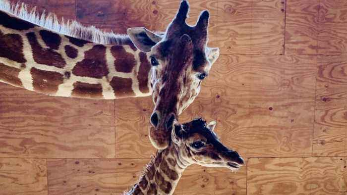 April The Giraffe Gives Birth To Fifth Calf
