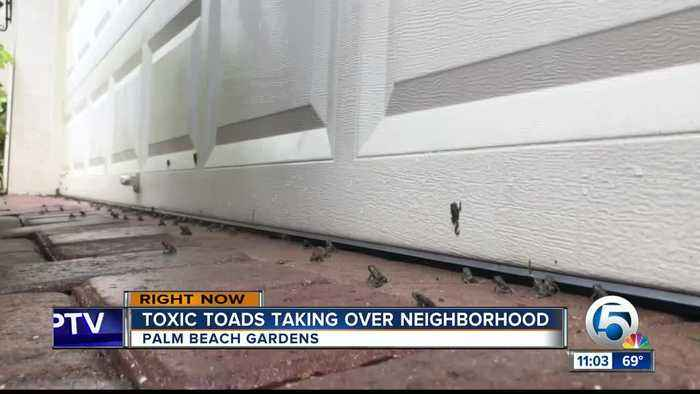 Palm Beach Gardens community concerned over outbreak of poisonous toads