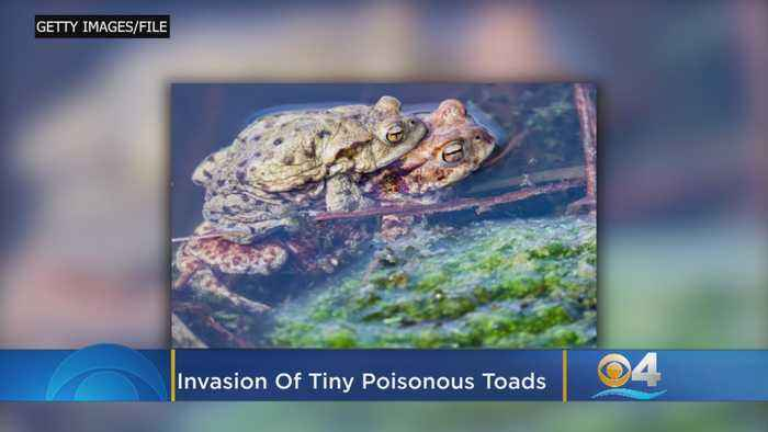 Invasion Of Tiny Poisonous Toads Alarms Florida Community
