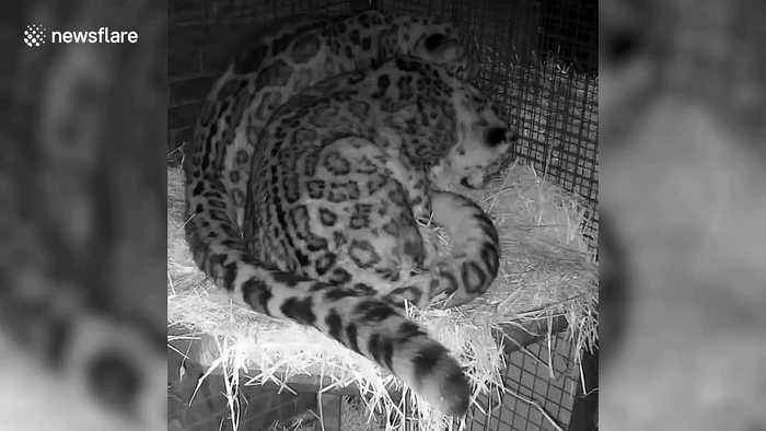 Two loved-up snow leopards curl up around each other in affectionate display
