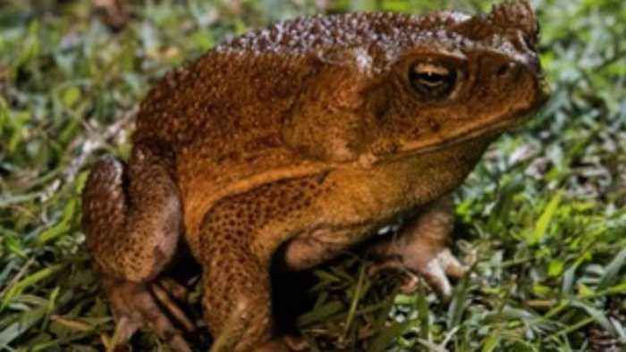 Outbreak Of Poisonous Toads Alarms Florida Residents