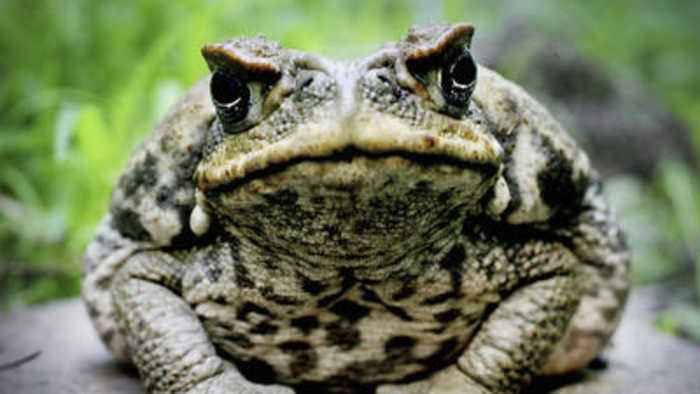 South Florida neighborhood infested by poisonous bufo toads