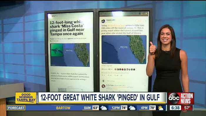 12-foot-long white shark 'Miss Costa' pinged in Gulf near Tampa once again