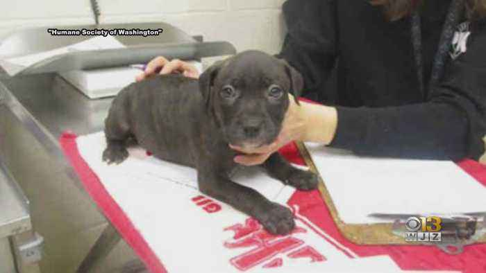 Washington Co. Humane Society Asking For Help Finding A Missing Pit Bull Mixed Breed Puppy