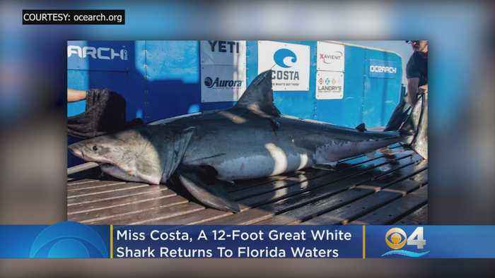 Miss Costa, A 12-Foot Great White Shark, Returns To Florida Waters