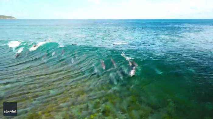 Dolphin Pod Catches a Wave With Surfers off Australian Coast