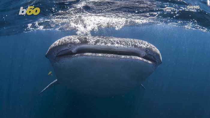 Enormous Shark Swims Under Clueless Tourists in Boat, Guide Gets Up Close & Personal