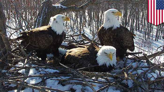 Trio of bald eagles seen raising young eaglets together