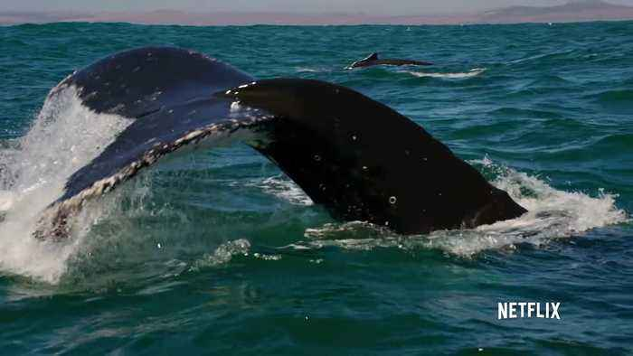 Our Planet Documentary movie clip - Humpback Whales