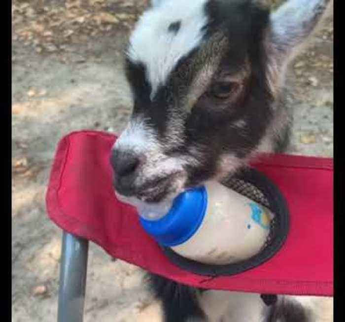 Goat Tries to Drink Milk From Feeding Bottle