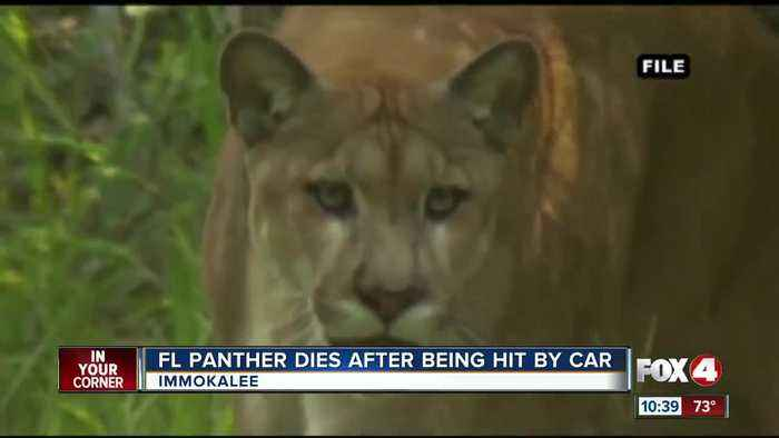 Panther killed by vehicle near Immokalee