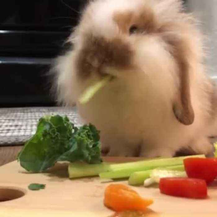 Adorable Rabbit Chomps Celery Stick