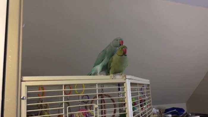 Parakeet brothers fully engage in conversation with one another