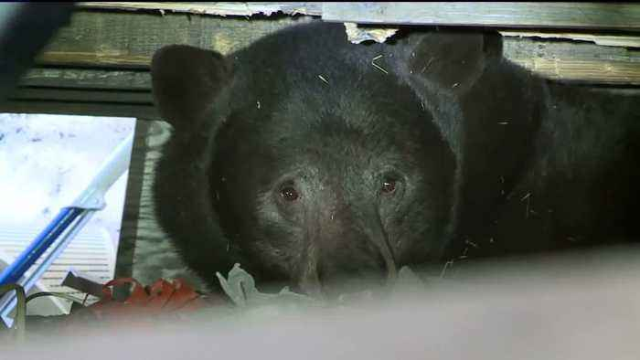 Hungry Bears Out and About Lake Tahoe in California, Officials Warn