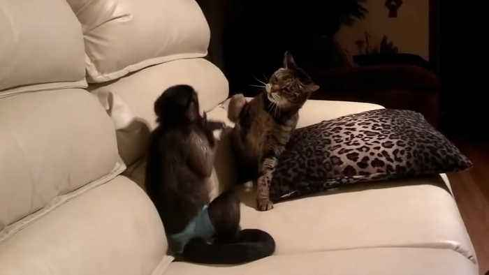 Monkey vs Cat