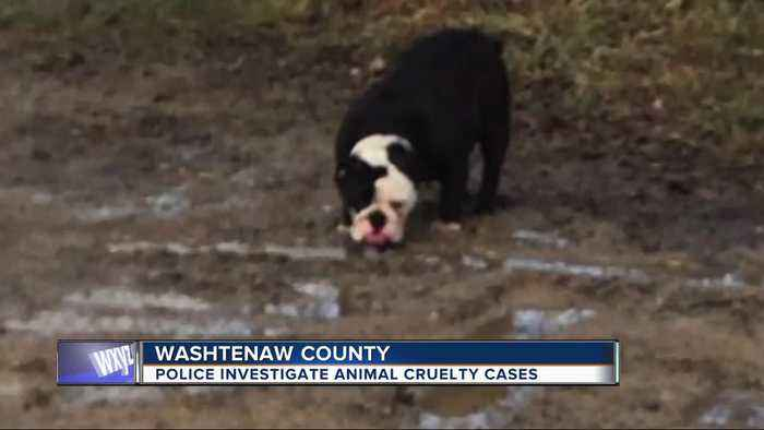 Help needed to identify people who dumped English bulldog, pet rabbits in Washtenaw county