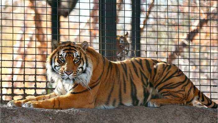 Zookeeper Hospitalized After Tiger Attack