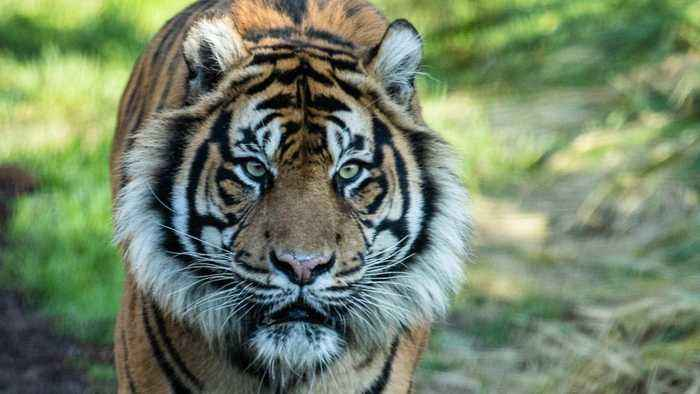Turf War: Tiger Attacks Zoo Keeper After They End Up In The Same Area