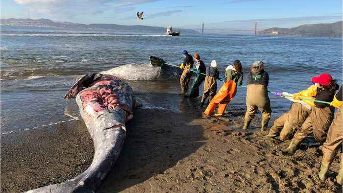Gray Whales Keep Dying From Boat Strikes In San Francisco Bay Area