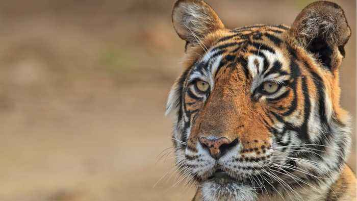 Bengal Tigers Face Extinction In A Final Stronghold