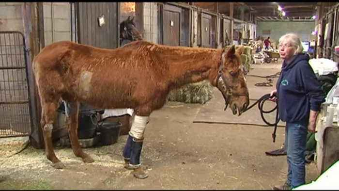 VIDEO Horse in rehabilitation after being attacked by 2 dogs
