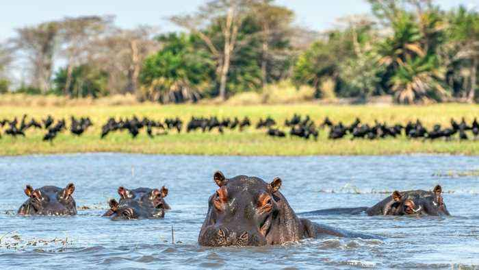 28 Hippos Found Dead In Ethiopian National Park