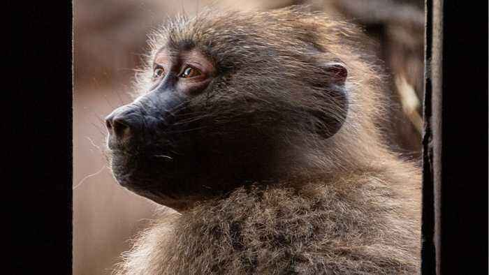 Baboons' Gut Makeup Determined By Soil?