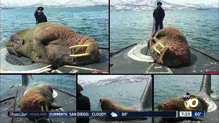 Pictures show walrus sleeping on sub?