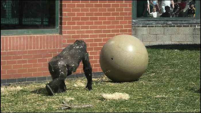 Giant toy ball creeps out gorilla youngster