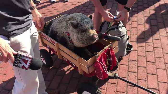 Hamilton the Lucky Pig Joins Carolina Hurricanes Tailgate Before Playoff Game